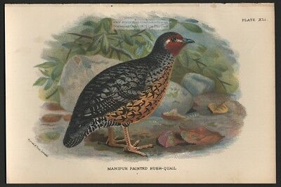 Manipur Bush Quail  Original 1896 Bird Print