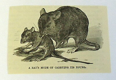 1883 magazine engraving~ RAT CARRYING IT'S YOUNG