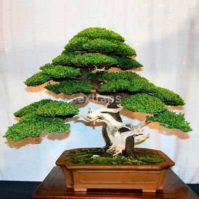NEW Japanese White Pine Pinus Parviflora Green Plants Tree Bonsai Seeds Decor CA
