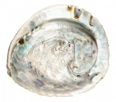 NaDeco® Haliotis midae ca. 12-16cm | Abalone Schnecke | Abalone Muschel | Seeopa