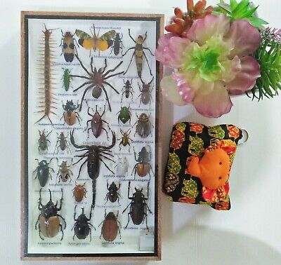 Real Rare Big Set Taxidermy Insect Display Butterfly Gift Box Framed Bug Cicada