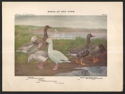 Goose Bird Print - Blue and American White Fronted 1914 by Louis Agassiz Fuertes