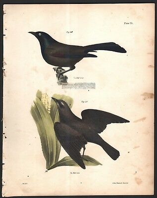 Common and Rusty Crow Blackbird Original 1845 DeKay H/C  Bird Print