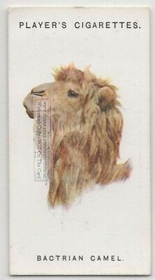 Two Hump Bactrian Camel  85+ Y/O Ad Trade Card