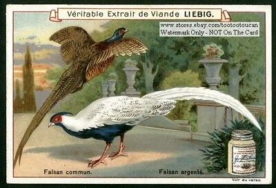 Beautiful Fancy Pheasant Faisan Birds c1900 Trade Ad Card