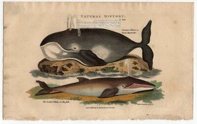 WHALES Common Or Great Mysticate AND Fin Backed 1813  Colored Engraving