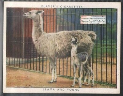 Llama and Her Baby 1938 Trade Advertising Card