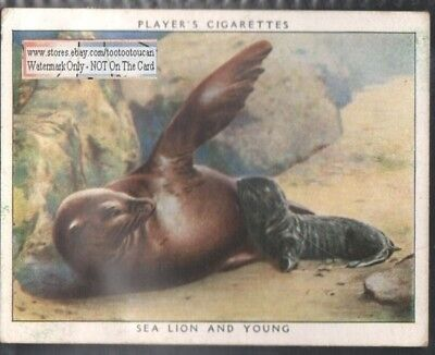 Sea Lion and Baby Young 1938 Trade Advertising Card