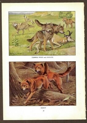 Timber Wolf - Coyote - Dingo Print by Fuertes 1919