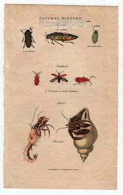 Hermit Crab And Beetles 1813 Hand Colored Engraving