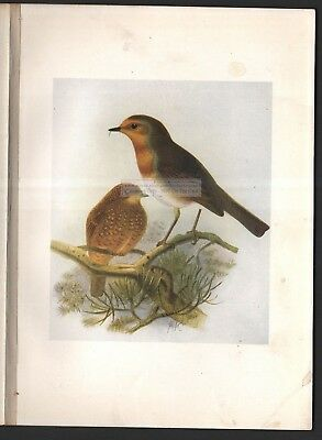 Red Robin Original Bird Print By Bonhote 1907