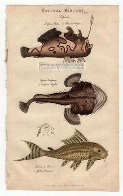 Anglerfish and Suckermouth Catfish Plecostomous1813 Hand Colored Fish Engraving