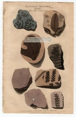 Plant Fossils In Stone Rock1813 Hand Colored Engraving