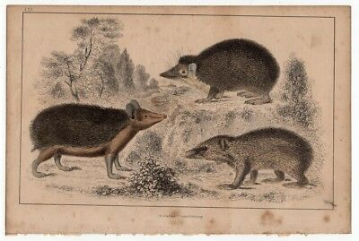 Hedgehog Tendrac Tenrecs c1860 Hand Colored Lithography Print
