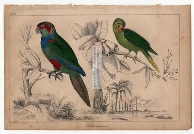 Tiriba and Coqutette Parakeet Birds c1860 Hand Colored Litho Print
