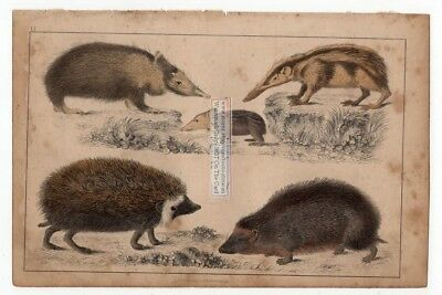 Hedgehogs and Tenrecs c1860 Hand Colored Litho Print