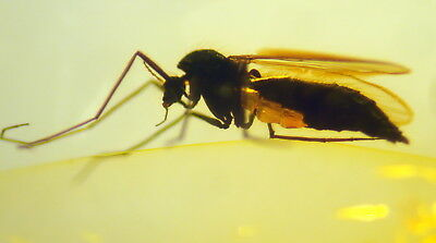 Fossil Insect In Baltic Amber 45-55 Millions Years Old(7653 )