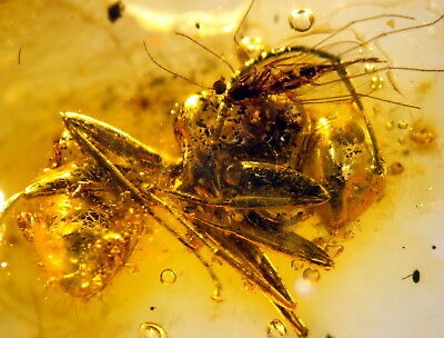 3 Fossil Insects In Baltic Amber 45-55 Millions Years Old(7609 )