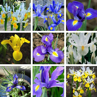 5Pcs Mixed Dwarf Iris Bulbs Reticulata Harmony Early Spring Flowering Plant Home