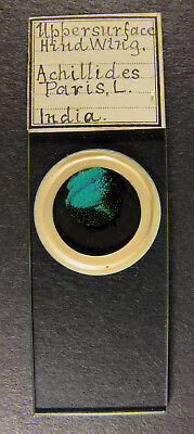 Antique Microscope Slide. Butterfly Wing. Achillides paris. India.