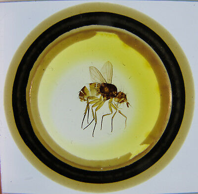 Antique Microscope Slide by Richard Suter. Entire Fly. Siphona geniculata.