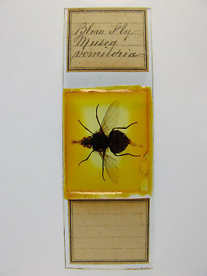 Antique Microscope Slide. Entire Blow Fly. Musca vomitoria.