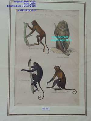 4296-Affen-Monkeys-PAVIANE-MANDRILL-HOWLER-COAITA-MORNE