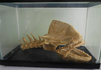 Cow Mahi Mahi (Dolphin Fish) Dorado Skull Huge 32 Lb. Cow In Glass Case