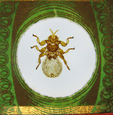 Antique Microscope Slide by John Barnett. Sheep Tick. See reverse.