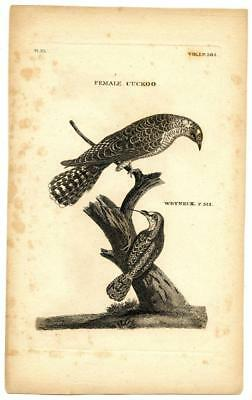 1776 T. Pennant Cuckoo Wryneck Copper Engraving Antique Bird Zoology Print