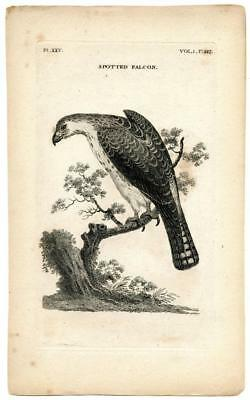 1776 T. Pennant Spotted Falcon Copper Engraving Antique Bird Zoology Print