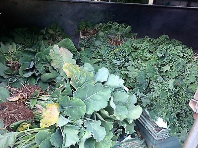 20 Brussels Sprout  Sprouts  Plants Plant 7 Hills Field Grown Not Plugs