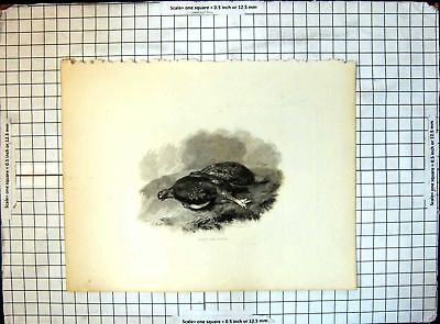 Old Antique Print Red Grouse 303J656