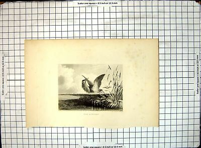 Old Antique Print The Bittern Marshes 302J656
