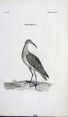 Old Antique Print Engraving Whimbrel Bird Nature 220G240