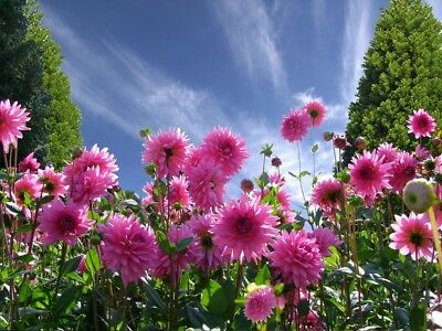 DAHLIA 'Decorative Giants' 25+ seeds CUT FLOWER garden flower arranging annual