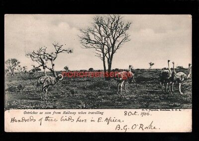 BEA British East Africa OSTRICHES SEEN FROM RAILWAY Figueira POSTCARD 1906 - 48