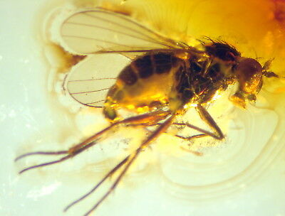 Fossil Insect In Baltic Amber 45-55 Millions Years Old(7627 )