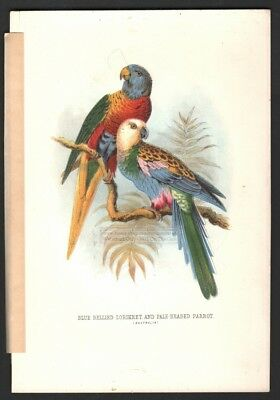 Blue Bellied Lorikeet and Pale Headed Parrot Original c1870s Color Print