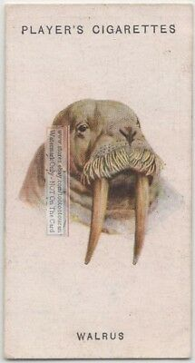 Walrus 85+ Y/O Ad Trade Card