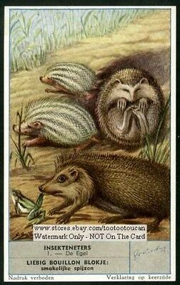 Western European Hedgehog Erinaceus europaeu c50 Y/O Trade Ad  Card