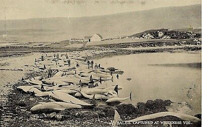 Shetland   Whales Captured At Whiteness Voe