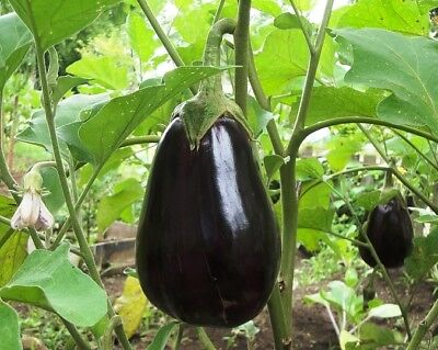 EGGPLANT Black Beauty *150+ seeds* high yield SPRING AND SUMMER vegetable garden