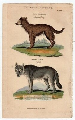 Wolf and Sheperds Dog1813 Hand Colored Engraving