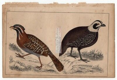 Quail Long Tailed and Montezuma Birds c1860 Hand Colored Lithography Print
