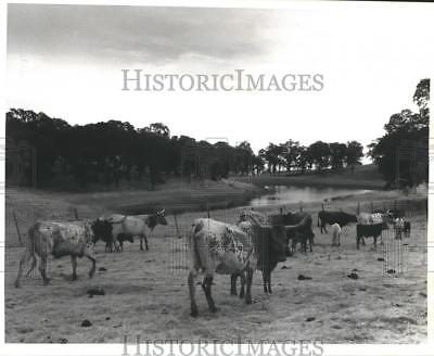 1992 Press Photo Longhorn Cattle In The Field, John Bergman Farm, California
