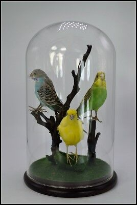Taxidermy 3 parakeets ,stuff birds mounted for sale, free shipping Z3#