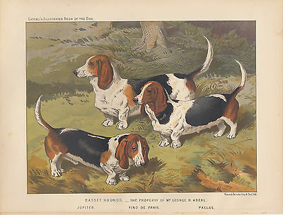 Vintage Basset Hound Dogs Art Print Antique Dog Lithograph 1881