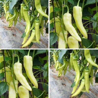 White Pepper 100 Seeds/Pack Organic Sweet Pepper Vegetable Seed Home Garden