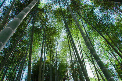 100 Fresh Moso_Bamboo_Seeds Phyllostachys Pubescens Giant Bamboo rare